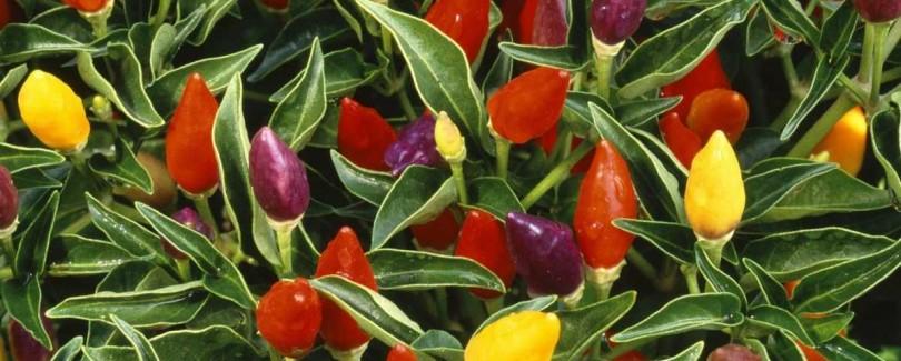 multi colored prnamental pepper plant